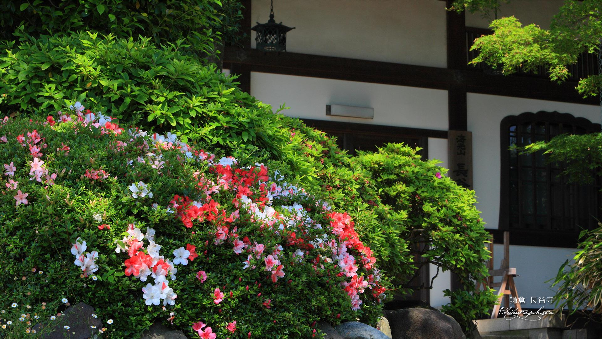 鎌倉長谷寺のサツキと寺務所