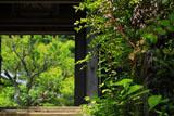 円覚寺黄梅院のユキノシタ