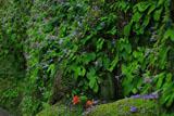 東慶寺 イワタバコと石仏
