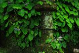 浄智寺の石燈籠にイワタバコ