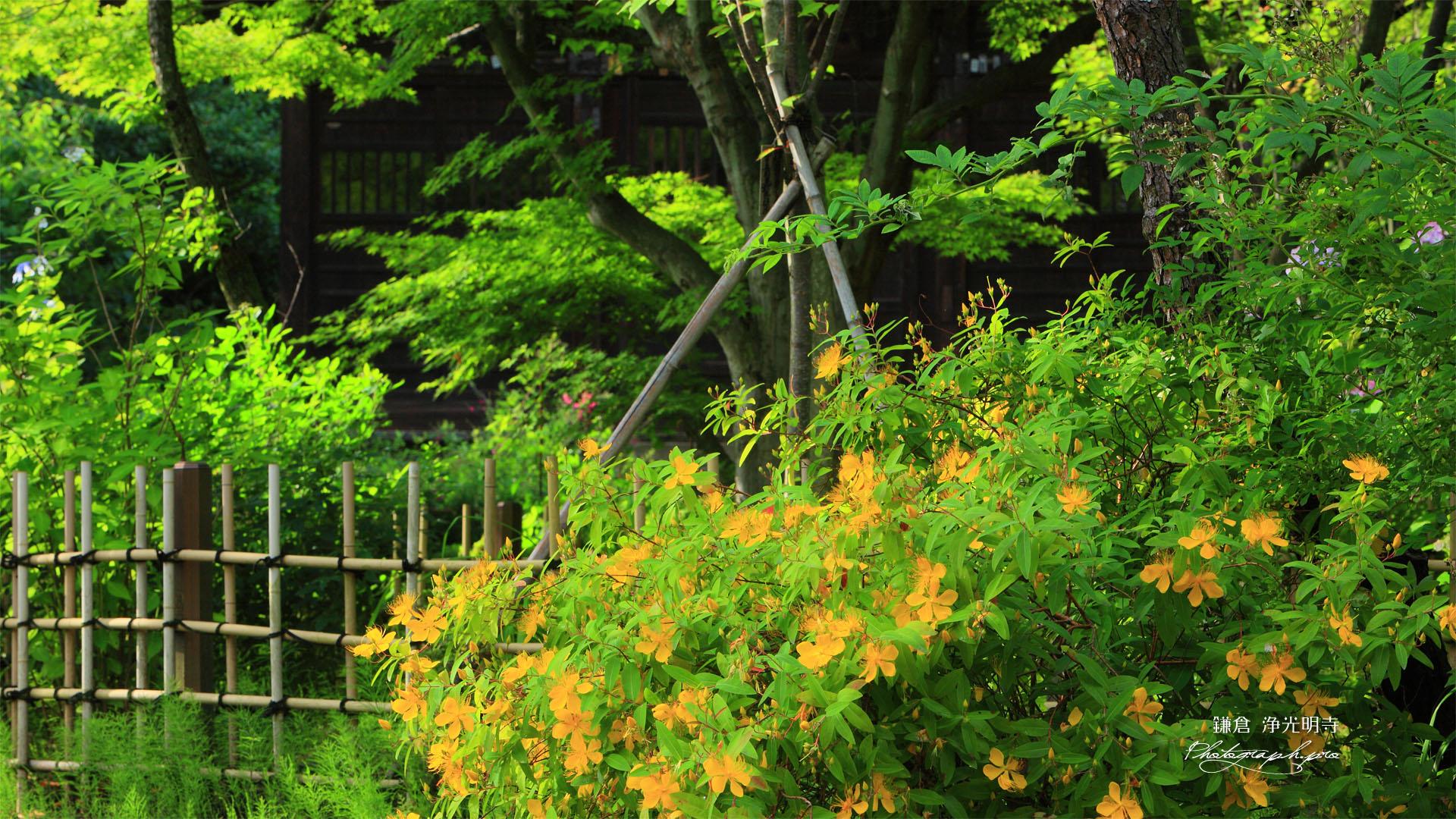 ビヨウヤナギの画像 p1_36