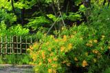 鎌倉浄光明寺 ビヨウヤナギ