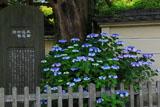 鎌倉英勝寺のアジサイと太田道灌石碑