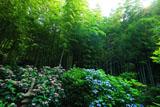 英勝寺の紫陽花と竹林