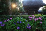 極楽寺 紫陽花と山門