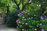 本覚寺 西洋紫陽花と額紫陽花