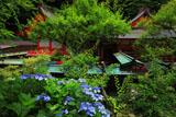 荏柄天神社の紫陽花と社殿