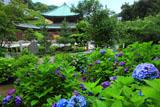 紫陽花苑と建長寺仏殿