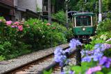鎌倉 御霊神社の紫陽花と江ノ電