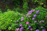 鎌倉十二所の紫陽花