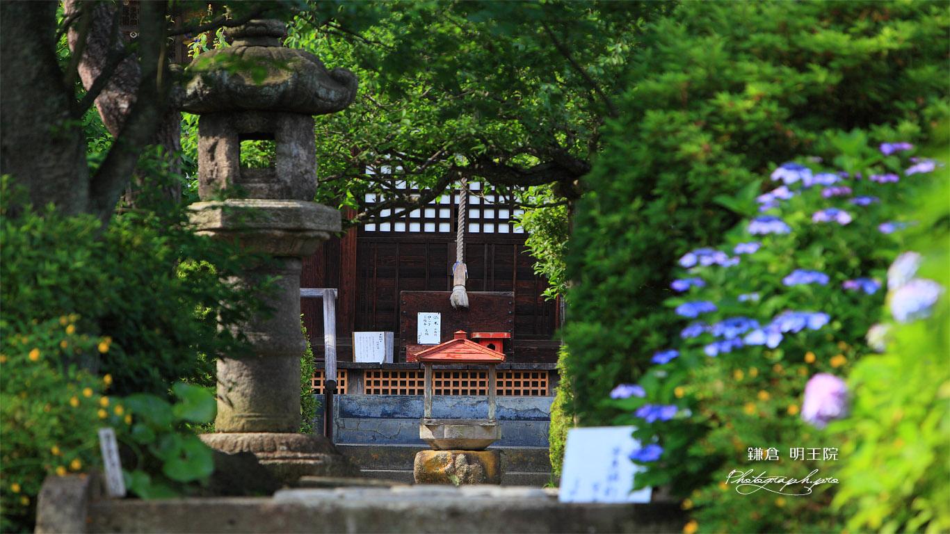 明王院 紫陽花と本堂 壁紙