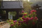 鎌倉光触寺 紫陽花と山門