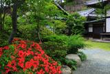 鎌倉浄光明寺 ツツジと庫裏