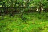 蓮華寺 本堂前庭の落夏椿