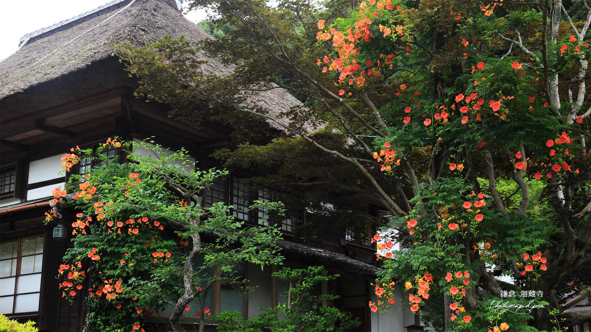 海蔵寺 ノウゼンカズラと庫裏