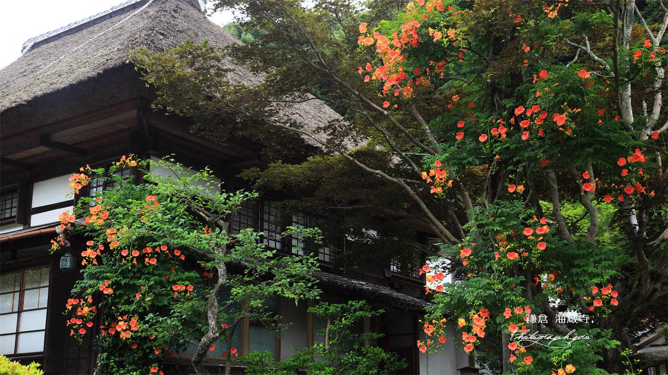 海蔵寺 ノウゼンカズラと庫裏 壁紙