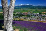 中富良野町営ラベンダー園の白樺の幹