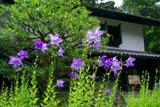 東慶寺 キキョウと松ヶ岡宝蔵