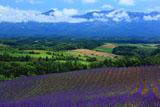 深山峠ラベンダー畑と十勝岳連峰