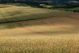 千望峠の麦畑