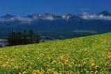 ひまわり畑と十勝岳連峰