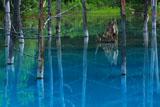 立ち枯れの落葉松と美瑛の青い池