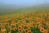 朝霧のひまわり畑