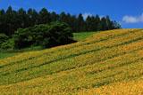 千望峠のヒマワリ畑