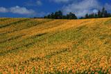 北海道の広大なひまわり畑