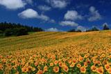 夏雲とひまわり畑