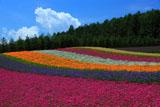 ファーム富田 夏雲と彩の畑