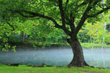 鳥沼公園のミズナラ