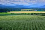南富良野のそば畑