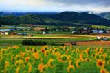 富良野のひまわり畑と丘