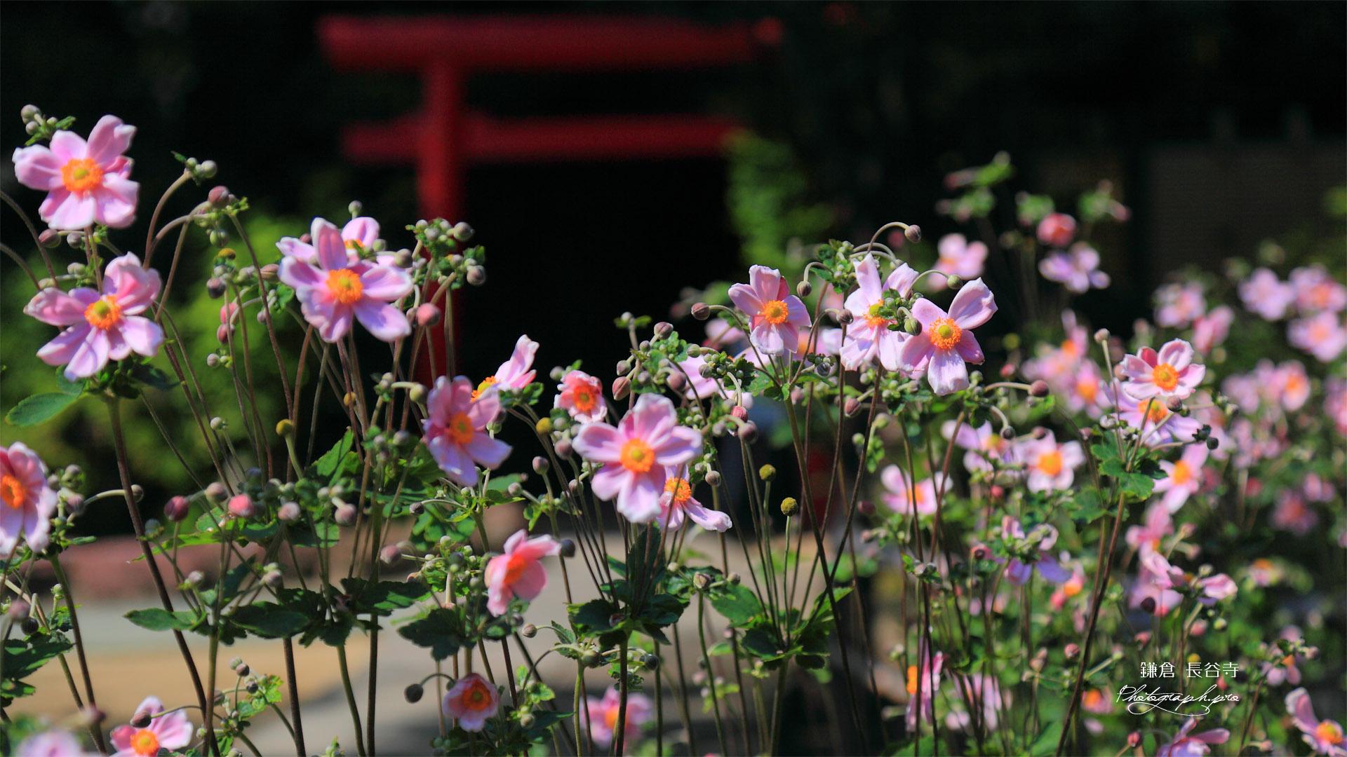 鎌倉長谷寺のシュウメイギク