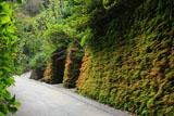 鎌倉亀ヶ谷坂 シダ植物の紅葉