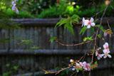 瑞泉寺の冬桜