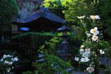 鎌倉円応寺 シュウメイギクと鐘楼