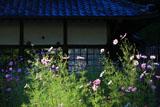 鎌倉圓久寺 コスモス