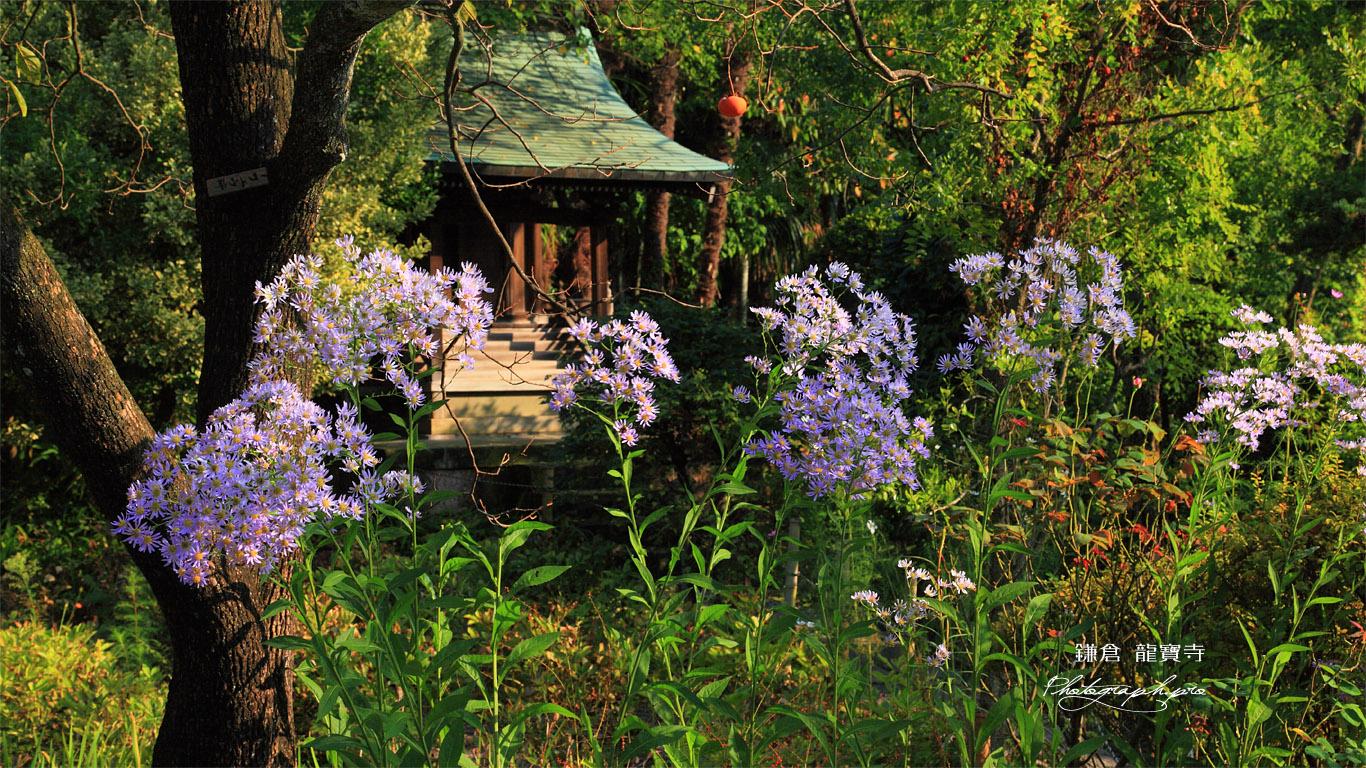 鎌倉龍宝寺のシオンと稲荷堂 壁紙