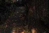 久成寺 参道のギンナン