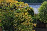 鎌倉円光寺 柿の木の紅葉