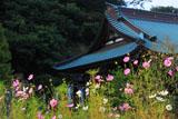 鎌倉青蓮寺 コスモスと本堂