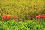 笛田 田圃の彼岸花と稲穂