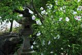 鎌倉長谷寺のムクゲ