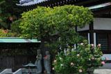 鎌倉長谷寺のフヨウと寺務所