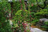 鎌倉光則寺のハギ
