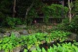 鎌倉長谷寺妙智池のシュウメイギク