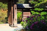 成就院 秋明菊と山門
