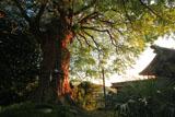荏柄天神社 初秋の大銀杏